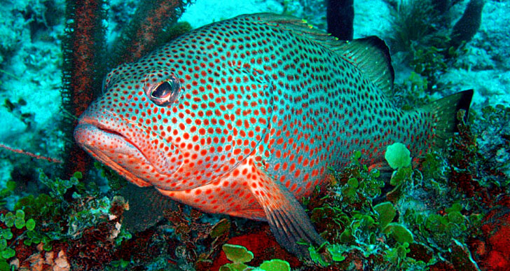 Scuba diving Trinidad, Red Hind